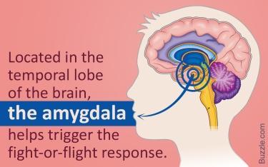 amygdala image